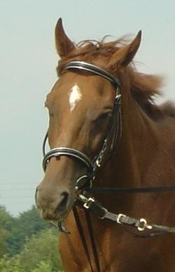 Pferdeausrüstung: Das Reithalfter wird oft auch zum Longieren des Pferdes verwendet.