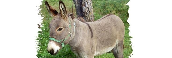 Was gibt es beim Haustier Esel zu beachten?