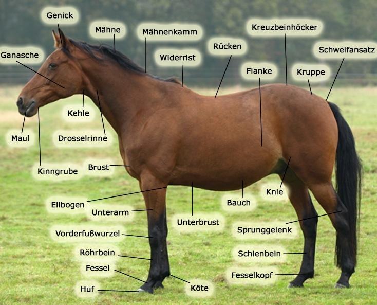 Wichtige Körperteile am Pferd