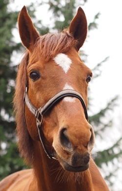 Aufmerksames Pferd beurteilt seine Umwelt
