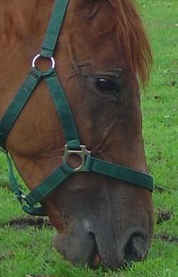 Grasendes Pferd - natürliche Futteraufnahme